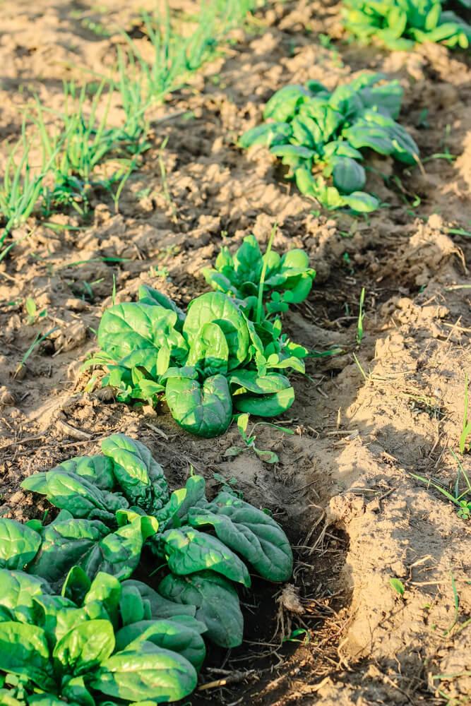 Spinat aus dem Garten um Flammkuchen selbst zu machen