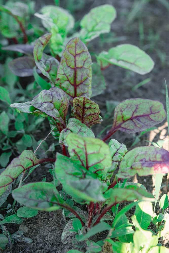 Rote Bete Pflanzen im Saisongarten