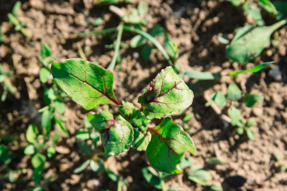 Rote Bete im Saisongarten