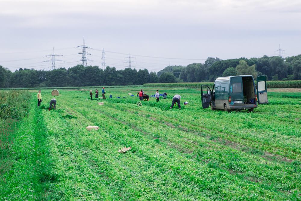 Erntehelfer für regionale Lebensmittel
