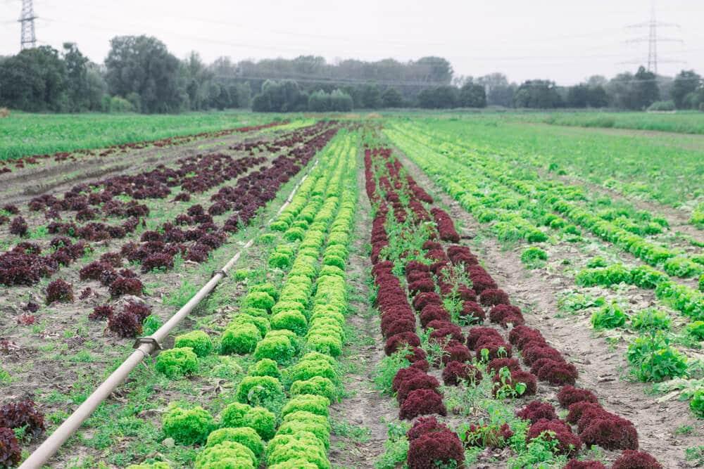 Regionalität bei Edeka - Salate auf dem Feld