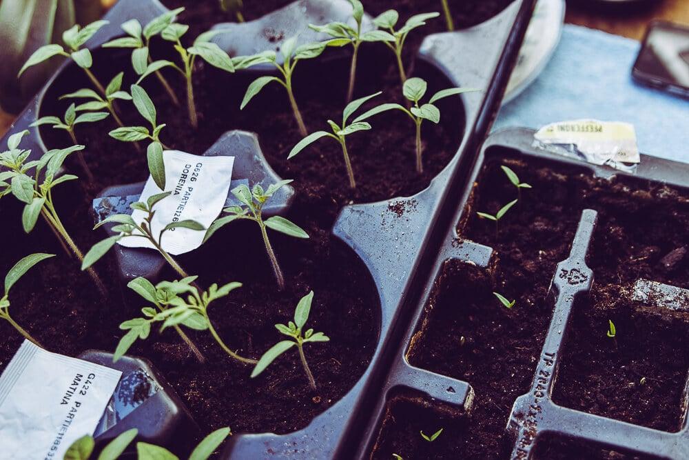 Pflanzen vorziehen - Saatgut anzüchten - Vorzucht Tipps
